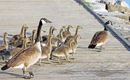 Los gansos de Canadá llevan sus ansarones jovenes a través del paseo marítimo Fotos de archivo libres de regalías