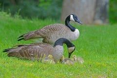 Los gansos de Canadá se emparejan con los bebés en hierba verde Fotos de archivo
