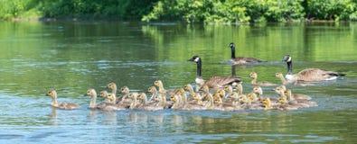 Los gansos de Canadá son padres que cuidan a niños naturales Imágenes de archivo libres de regalías