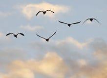 Los gansos de Canadá vuelan Foto de archivo libre de regalías