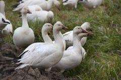 Los gansos de nieve se cierran encima de la mirada Foto de archivo
