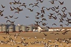 Los gansos de nieve y Whie afrontaron los gansos Canadá en vuelo Imagen de archivo