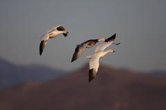 Los gansos de Ross en vuelo con un fondo del cielo azul Imagenes de archivo