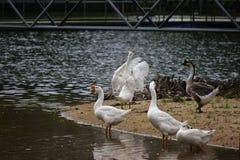 Los gansos están comiendo en la piscina Parece hermoso, natural imagen de archivo libre de regalías