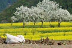Los gansos están disfrutando de la sol del resorte Imagen de archivo