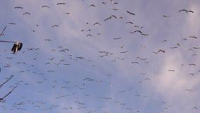 Los gansos grandes de los pájaros de la multitud vuelan animales meridionales de arriba de la fauna de la migración metrajes