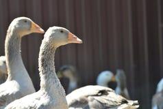 Los gansos grises en el patio Imagenes de archivo