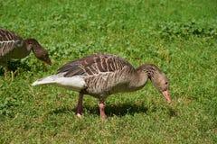 Los gansos grises pastan Foto de archivo libre de regalías