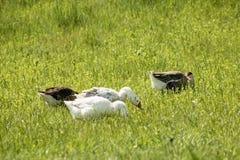 Los gansos grises y blancos comen una hierba verde jugosa joven Imagenes de archivo