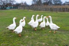 Los gansos nacionales pastan en el prado Paseo de las aves de corral en la hierba Los gansos nacionales est?n caminando en la hie foto de archivo libre de regalías