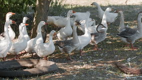 Los gansos pastan en un prado almacen de metraje de vídeo