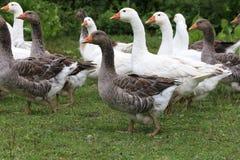 Los gansos pastan en yarda rural de la granja avícola Imagen de archivo libre de regalías