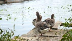 Los gansos se colocan en un puente de madera en el lago metrajes