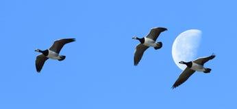 Los gansos volaron sobre la luna Imagen de archivo