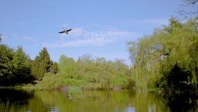 Los gansos vuelan sobre una charca en un parque de la primavera metrajes