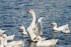 Los gansos y los patos blancos nadan y se zambullen en la charca Fotografía de archivo libre de regalías