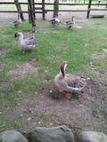Los gansos y los patos grises caminan en la hierba verde imagenes de archivo