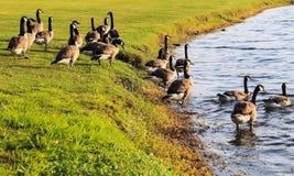 Los gansos y su hogar Fotografía de archivo libre de regalías
