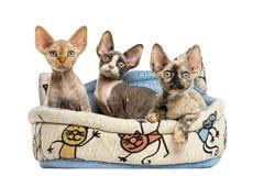 Los gatitos agrupan en una cesta de la cesta del animal doméstico aislada en blanco Imagen de archivo
