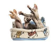 Los gatitos agrupan en una cesta de la cesta del animal doméstico aislada en blanco Imagen de archivo libre de regalías