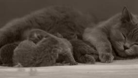 Los gatitos amamantan de madre metrajes