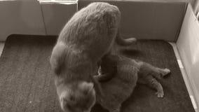 Los gatitos amamantan de madre almacen de video