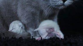 Los gatitos amamantan de madre almacen de metraje de vídeo