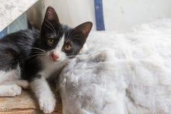 Los gatitos están jugando en las almohadas del sofá, que está en el fondo Fotografía de archivo