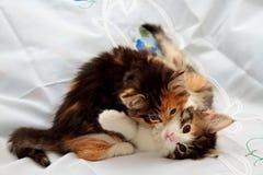Los gatitos noruegos del gato del bosque son de lucha y que se muerden Fotografía de archivo