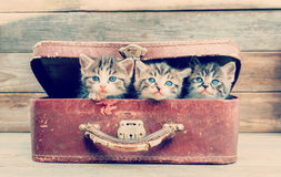 Los gatitos se están sentando en maleta Fotos de archivo libres de regalías