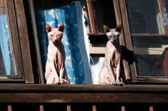Los gatos de Sphynx son toman el sol en la ventana Fotografía de archivo libre de regalías