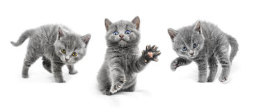Los gatos jovenes son en posiciones defensivas y alistan al attac Foto de archivo