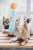 Los gatos lindos son divertidos Fotografía de archivo libre de regalías