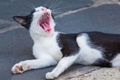 Los gatos negros son bostezo lindo con letargo foto de archivo