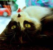 Los gatos nuestros animales domésticos nunca nos pararán para perseguir con su encanto y belleza inusuales fotos de archivo libres de regalías