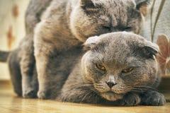 Los gatos se están acoplando dentro Fotos de archivo libres de regalías