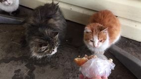 Los gatos sucios sin hogar comen afuera en el frío del invierno el hombre alimenta animales perdidos de gatos Gato sin hogar al a almacen de video