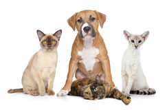 Los gatos y el perro agrupan el retrato en el fondo blanco Fotografía de archivo