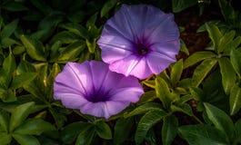 Los gemelos de la púrpura Imagenes de archivo
