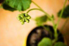 Los geranios del bebé florecen antes de florecer fotografía de archivo