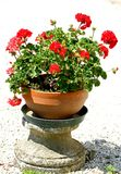 Los geranios ROJOS florecen en un florero en el jardín Imagenes de archivo