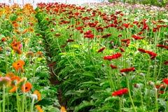 Los gerberas rojos crecen en invernadero moderno bajo growlight artificial imagen de archivo libre de regalías