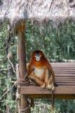 Los gibones son el nombre general para los animales del primate Se nombran para su longitud especial Las palmas son m?s largas qu imágenes de archivo libres de regalías