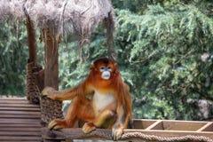 Los gibones son el nombre general para los animales del primate Se nombran para su longitud especial Las palmas son m?s largas qu fotos de archivo libres de regalías