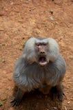 Los gibones son el nombre general para los animales del primate Se nombran para su longitud especial Las palmas son m?s largas qu imagenes de archivo
