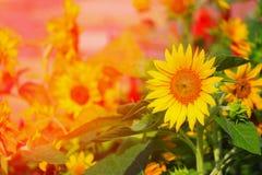 los girasoles amarillean la floración en la flor del jardín hermosa, con tono de la luz de la salida del sol Imágenes de archivo libres de regalías