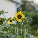 Los girasoles amarillos de oro decorativos en campo con la abeja, abeja recogen el néctar Imagen de archivo libre de regalías