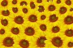 Los girasoles amarillos hermosos Imagen de archivo