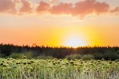 Los girasoles colocan cerca de bosque en la salida del sol del ot de la puesta del sol, fondo agrícola rural Imagenes de archivo