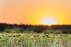 Los girasoles colocan cerca de bosque en la salida del sol del ot de la puesta del sol, fondo agrícola rural Imagen de archivo